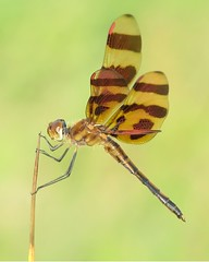 Halloween Pennant (Vicki's Nature) Tags: brown yard canon georgia ode dragonfly stripes return s5 pennant naturesfinest halloweenpennant digitalcameraclub colorphotoaward citrit natureoutpost vickisnature beautifulworldchallenges bwcginsects bwcgchallenges return100commentadd