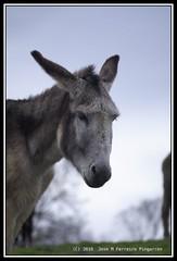 Burro (Jose M. Ferreiro (WWW.JFERREIROFOTOGRAFIA.COM)) Tags: pentax cosina burro josemanuel asno animales nates manualfocus cantabria k7 ferreiro pingarron kleinxt cosina135mm pentaxk7 josemferreiropingarron