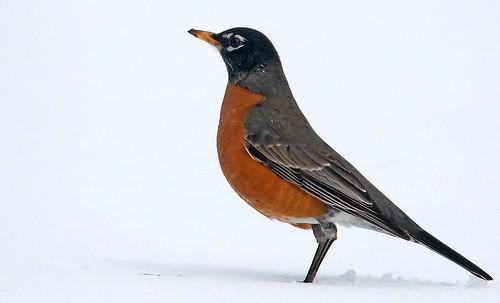 フリー画像| 動物写真| 鳥類| 野鳥| コマツグミ|       フリー素材|