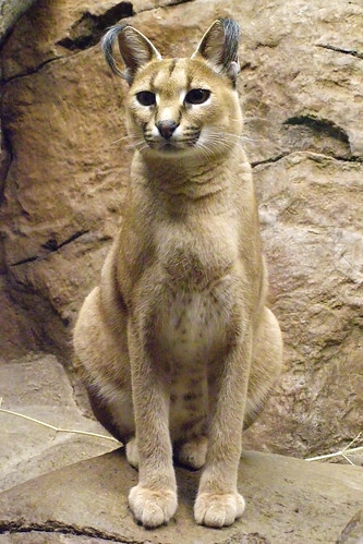 The Caracal is found in the Mi...