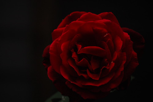 Dark & Lovely Rose