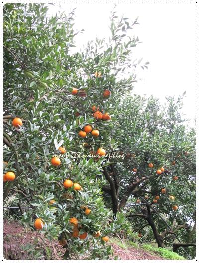 關西採草莓橘子牛欄河2010.02.20-17