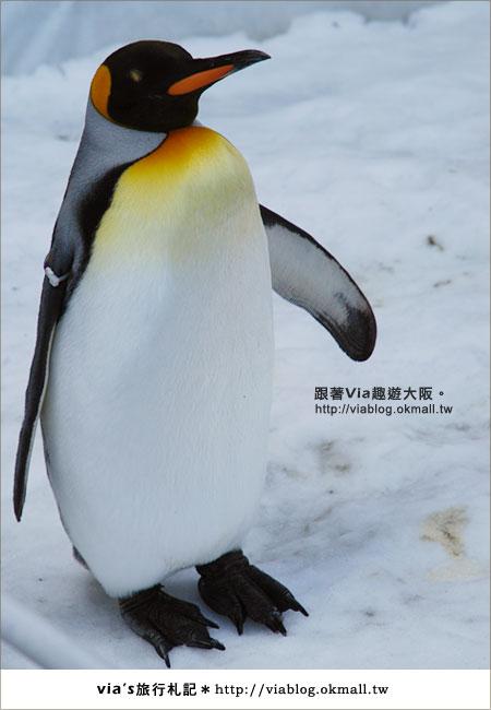 【via關西冬遊記】大阪海遊館~冬季限定!無敵可愛企鵝遊行來囉!7