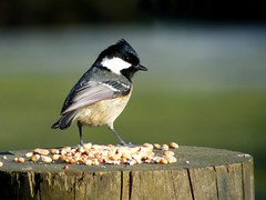 Coal Tit (wendyforbes) Tags: bird nature scotland flickr tit fuji fife wildlife finepix loch coal birnie wendyforbes