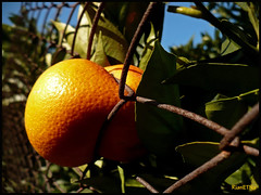 Nothing can stop me (Rianetna) Tags: orange nature fruit power sicily citrus frutta sicilia arancia agrumi pomeran