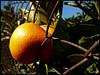 Nothing can stop me (Rianetna) Tags: orange nature fruit power sicily citrus frutta sicilia arancia agrumi pomeranč