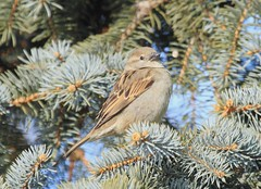 lady sparrow (starc283) Tags: bird nature canon wildlife birding sparrow canon7d
