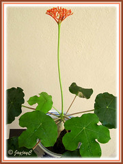 Jatropha podagrica (Gout Plant, Buddha Belly Plant): first flowering