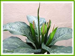 Dieffenbachia bowmannii 'Carriere', a floriferous cultivar!