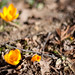 Even though it is still winter, the crocus flower shows signs of hope for spring.