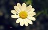 "Chamomile (Mohammad Reza Hassani) Tags: lebanon flower green grass petal beirut liban لبنان chamomile سبز گل زرد طبیعت سبزه بابونه سفید گلبرگ بیروت ""flickraward"" bealivebetopbeseven"