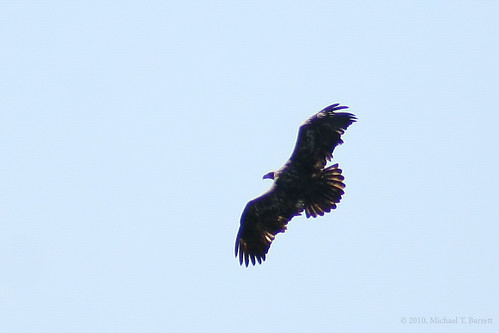 Bald Eagle (3)