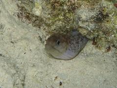 Morena Gris (Gymnothorax Griseus) (FRosselot) Tags: redsea scubadiving buceo marrojo