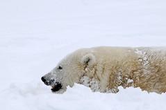 _DSC9317 Mercedes the polar bear in the snow at the Highland Wildlife Park Kincraig Scotland (Aaron Sneddon Photography & Aerial Photographer) Tags: canada mercedes scotland media manitoba arctic polarbear highland churchill carnivore cairngorm kincraig kingussie ursusmaritimus newtonmore highlandwildlifepark speyvalley mercedescar rzss nikond300 arcticanimal mercedescars mercedesthepolarbear aaronsneddon mercedesthebear mercedespolarbear