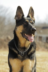Keegan (GabbyDiTullio) Tags: dog black male canon shepherd tan 9 canine german keegan months 70300mm gsd 50d 3910