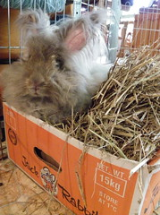 Hiding in the Jack Rabbit Box (ixchelbunny) Tags: bunnies rabbits angora ixchel flopsy ixchelbunny