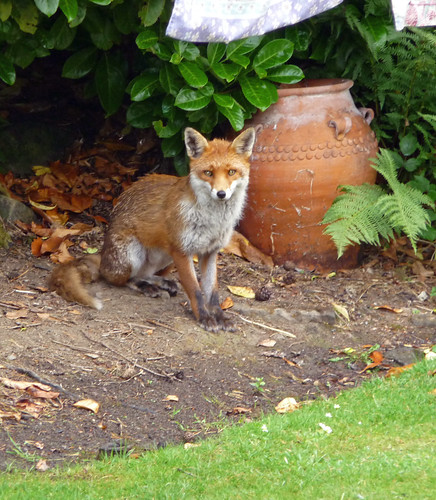 Urban Fox, Glasgow