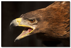 Tawny Eagle (Poyntonshoot Mike) Tags: bird nature canon eagle wildlife 1d prey predator tawny gauntlet ineffable aquilla rapax