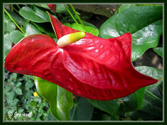 Vibrant chilli-red Anthurium spp. from China, at a garden nursery