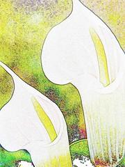 photo editing fun (lintu sininen) Tags: flower photoediting callalily