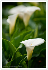 (Jerome Chen) Tags: callalily