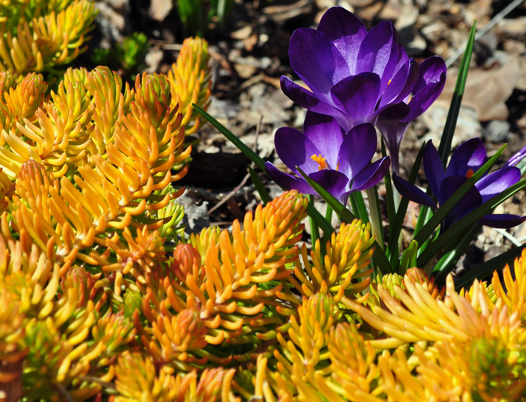 Sedum 'Angelina' and Crocus