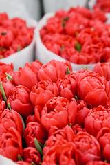 (ion-bogdan dumitrescu) Tags: flowers red love tulips many burning romania passion bucharest flaming lots img3663 bitzi ibdp ibdpro wwwibdpro ionbogdandumitrescuphotography