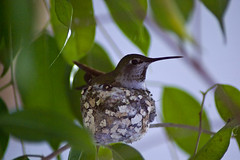 Hummingbird03182010001