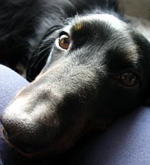 Happy Furry Friday from Barney & Me! (msbellee) Tags: light shadow dog face loving nose eyes long pointy natural sweet hound dachshund standard wienerdog teckel furbaby dachsie doxie mybarney blackandtanlonghair