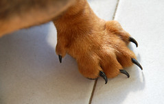 The Claw of the Beast (jr247.net) Tags: dog puppy miniature paw sausage dachshund claw rommel k9