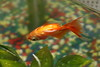 belly up (wmliu) Tags: animal funny goldfish alive resting creatures fullsize bellyup notdead wmliu