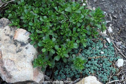 Sedum 'Salsa Verde' (S. makinoi) & 'Baby Tears' (S. desyphyllum)