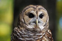 [フリー画像] [動物写真] [鳥類] [猛禽類] [梟/フクロウ] [アメリカフクロウ]      [フリー素材]