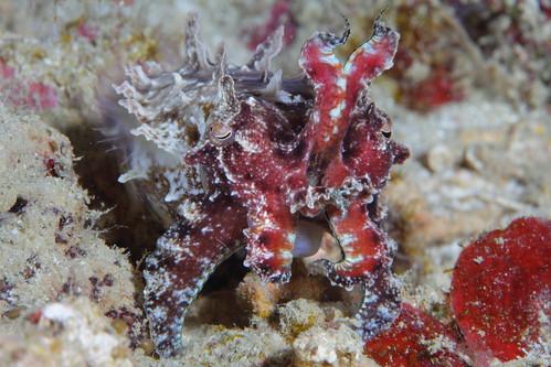 Flamboyant Cuttlefish III