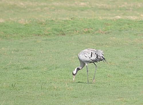 common crane3
