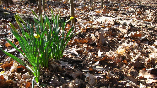 Easter morning daffodils in Saginaw Forest