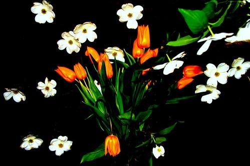 Dogwood and Tulips