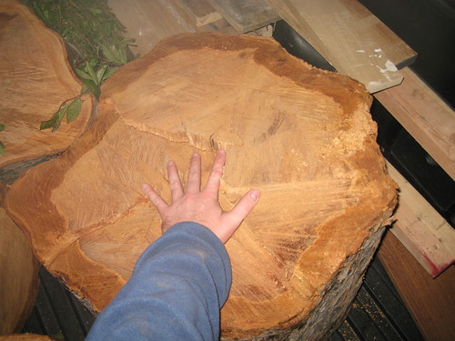 very large Chinese elm log