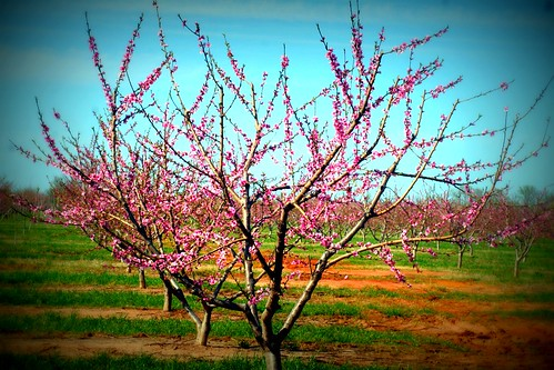 peach trees and purse 008