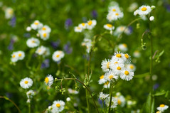 Wildflowers (Fleabane, etc)