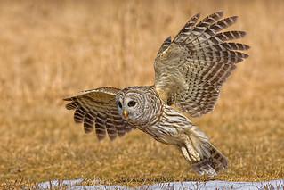 Barred_Owl_006