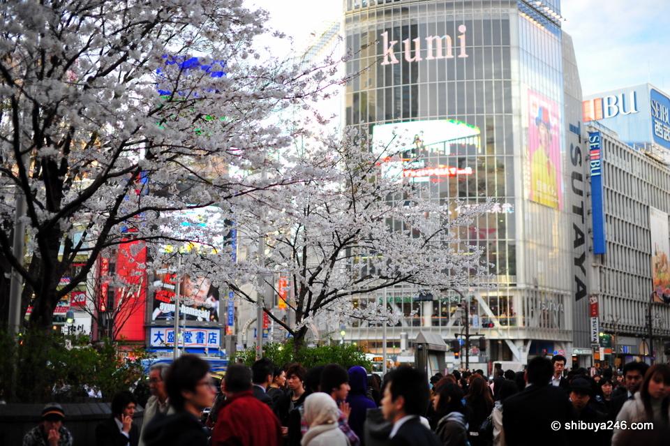 Sakura Sakura for Shibuya Shibuya
