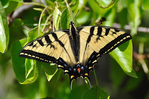 Tiger Swallowtail in my Tree by donjd2, on Flickr