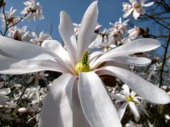Stermagnolia (Magnolia Stellata) (ToJoLa) Tags: blue sky flower tree canon spring magnolia tuin lente 2010 voorjaar detuinenvanappeltern stermagnolia canong10