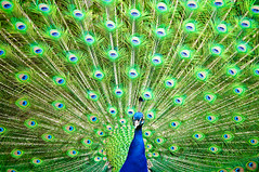Indian Peafowl (Sergiu Bacioiu) Tags: park color bird heritage animal germany garden botanical zoo colorful stuttgart indian feathers feather peacock explore colored frontpage botanicalgarden deu peafowl wilhelma badenwrttemberg zoological zoologicalgarden wilhelmapark stuttgartbadcannstatt historicalheritage tamronspaf70200mmf28dildifmacro outstandingromanianphotographers
