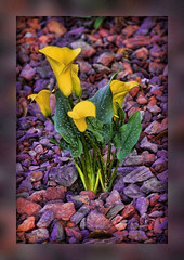 Contentment Is ... (Mona Hura) Tags: plant flower beauty yellow that lava is rocks lily calla you content lilies enjoy bloom enjoying surrounds contentment 9109e