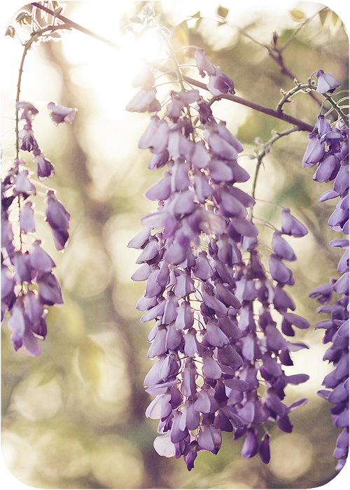 intoxicating wisteria