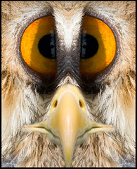Goofy Bird (Andy Kent 100) Tags: portrait silly bird andy goofy birds canon is kent amazing cool interesting comedy flickr cross eagle wildlife cartoon feathers feather photographic 300mm owl worcestershire eyed prey usm 300 portfolio society today 70 webbs worcester bop 70300 70mm bromsgrove caracature 450d wychbold akphotographic wwwakphotographiccouk andykent100 srosseyed