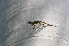 "Apr08_ DR Trip_ Bot Garden_ gecko the cool • <a style=""font-size:0.8em;"" href=""http://www.flickr.com/photos/30765416@N06/4520928816/"" target=""_blank"">View on Flickr</a>"