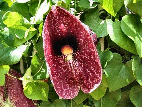 20100416-rq-pestanavillage-04-Aristolochia gigantea
